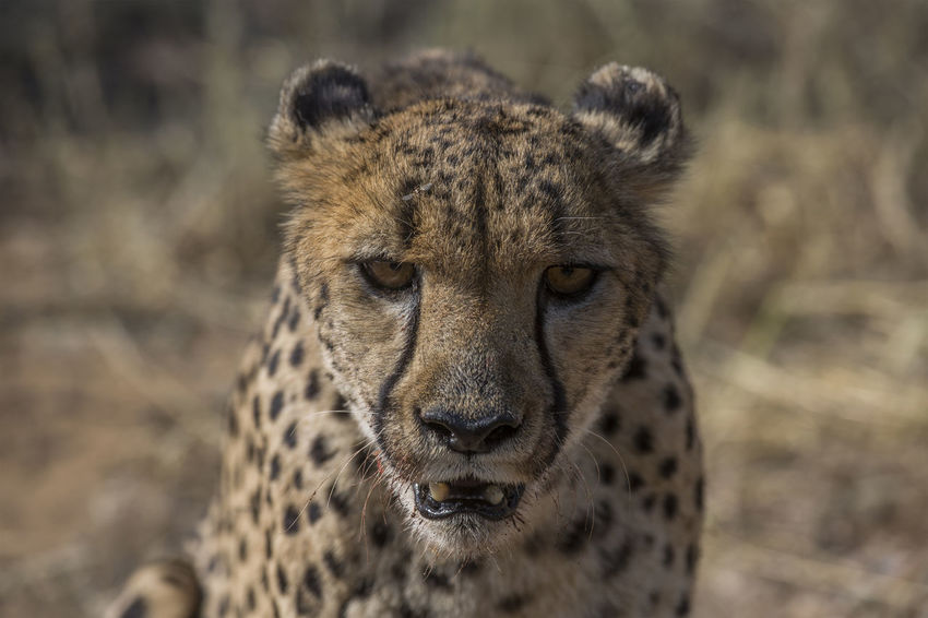 Portrait of Cheetah Botswana Namibia National Park South Africa Tanzania Africa Animal Head  Animal Themes Animal Wildlife Animals In The Wild Big 5 Cheetah Close-up Day Eye Focus On Foreground Leopard Mammal Nature No People One Animal Outdoors Portrait Safari Adventure Safari Animals