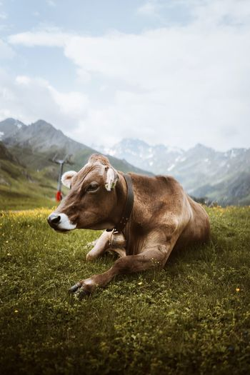 View of a cow on field