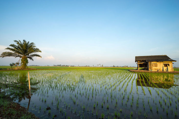 Abandoned wooden house in middle of paddy field with a sunrise sky in the background. Agriculture Architecture Beauty In Nature Blue Building Exterior Built Structure Clear Sky Copy Space Day Farm Field Green Color Growth Nature No People Outdoors Plant Plantation Rice Paddy Rural Scene Scenics Standing Water Tranquil Scene Tranquility Water
