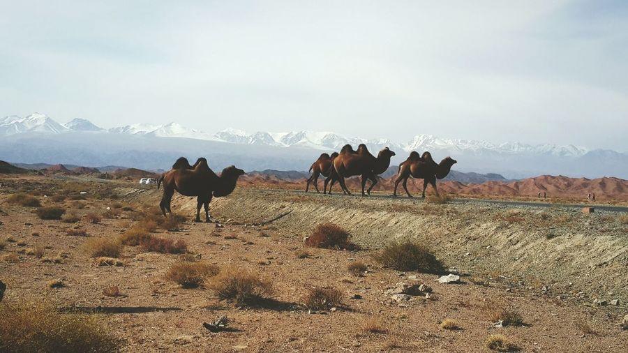 Bactrian camels walking on arid landscape against sky