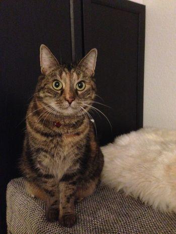 Haustier Animal Eye Cat Catsofeyem Domestic Domestic Animals Domestic Cat Feline Indoors  Katze Katzen No People One Animal Pets Portrait Sitting