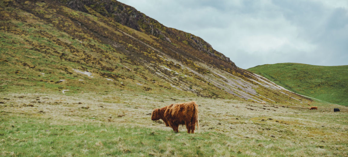 Panoramic view of highland cow standing in the scottish hills