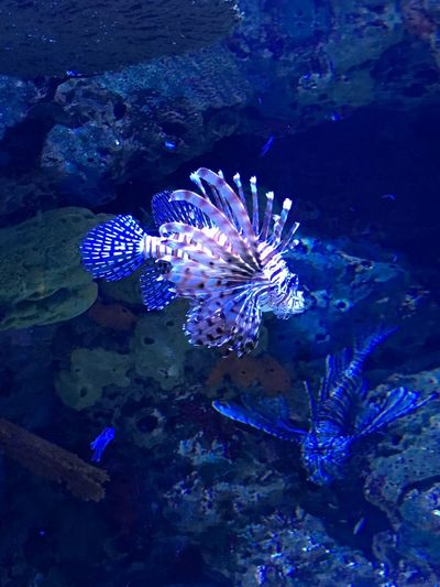 Lion fish Underwater Water Animal Wildlife Animals In The Wild Sea Sea Life Animal Themes Swimming Vertebrate No People One Animal Fish Beauty In Nature Marine Animal Invertebrate UnderSea Nature Blue Ecosystem