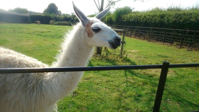 Lama Lamaphotography Farm Farm Animals Farm Life Animal Animal_collection Graves Park, Sheffield Lamma