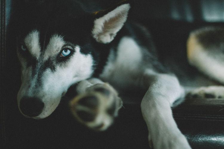Close-Up Portrait Of Dog Lying On Sofa