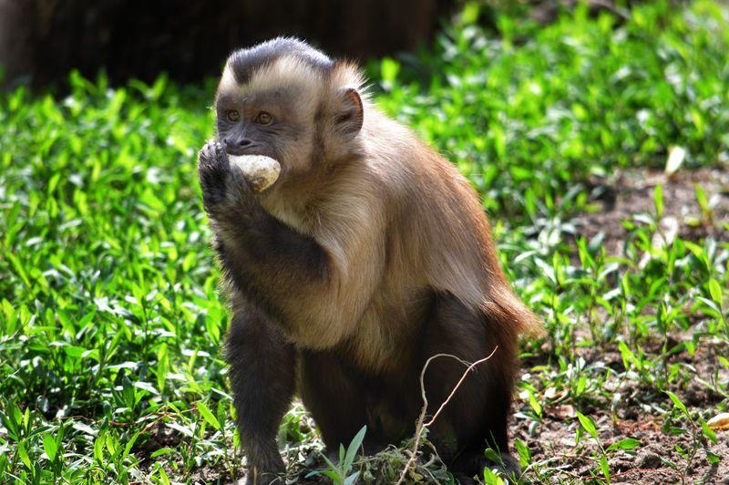 #nikon #captivity #Monkeys Nikon D3200 Grass Close-up Monkey Mouth Teeth HEAD Closing Mug Shot Animal Eye Primate Chimpanzee