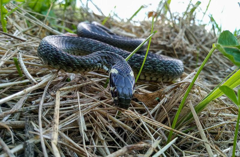 Grass snake Close Up Wildlife Animal Reptile Close-up Snake