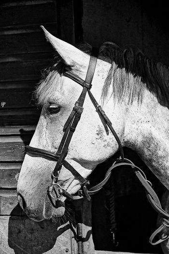 White horse head In The Spotlight White Horse Portrait White Horse Close-up Animals Of Eyeem Animals Posing Animal Photography 3XSPUnity Taking Photos Black And White Photography Eyem Black And White Photographs Horse Head Be. Ready.