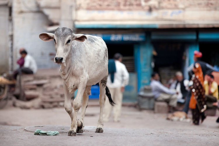 Calf walking on road in village