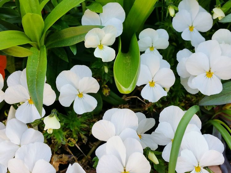 Splash of White Wildlife & Nature Beauty In Nature Outdoors Nature EyeEmSelect Plants Blooming EyeEm Selects White Green Color Yellow Pansy Flower Head Flower Leaf Petal Close-up Plant Botanical Garden Flowering Plant Plant Life Botany Blossom