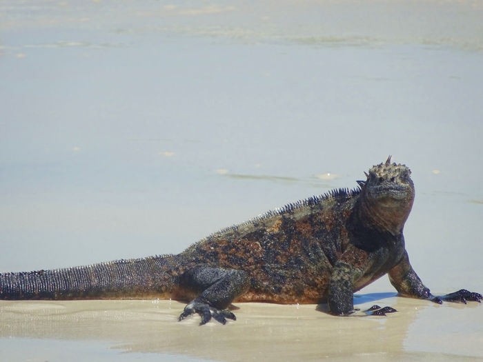 Animal Themes Animals In The Wild Galapagos Iguana Nature One Animal Reptile Sand Wildlife