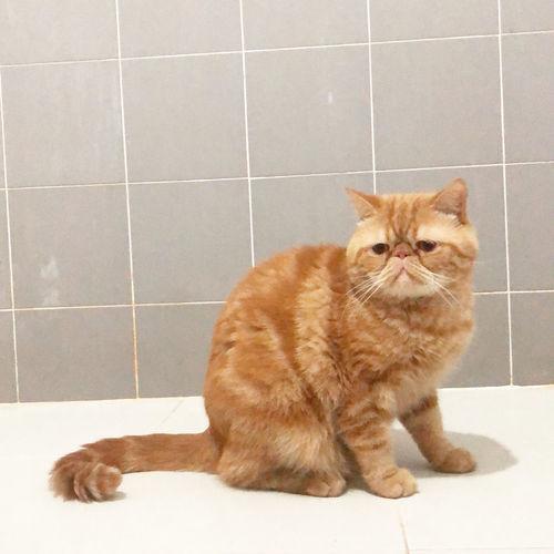 Portrait of cat sitting on tiled floor
