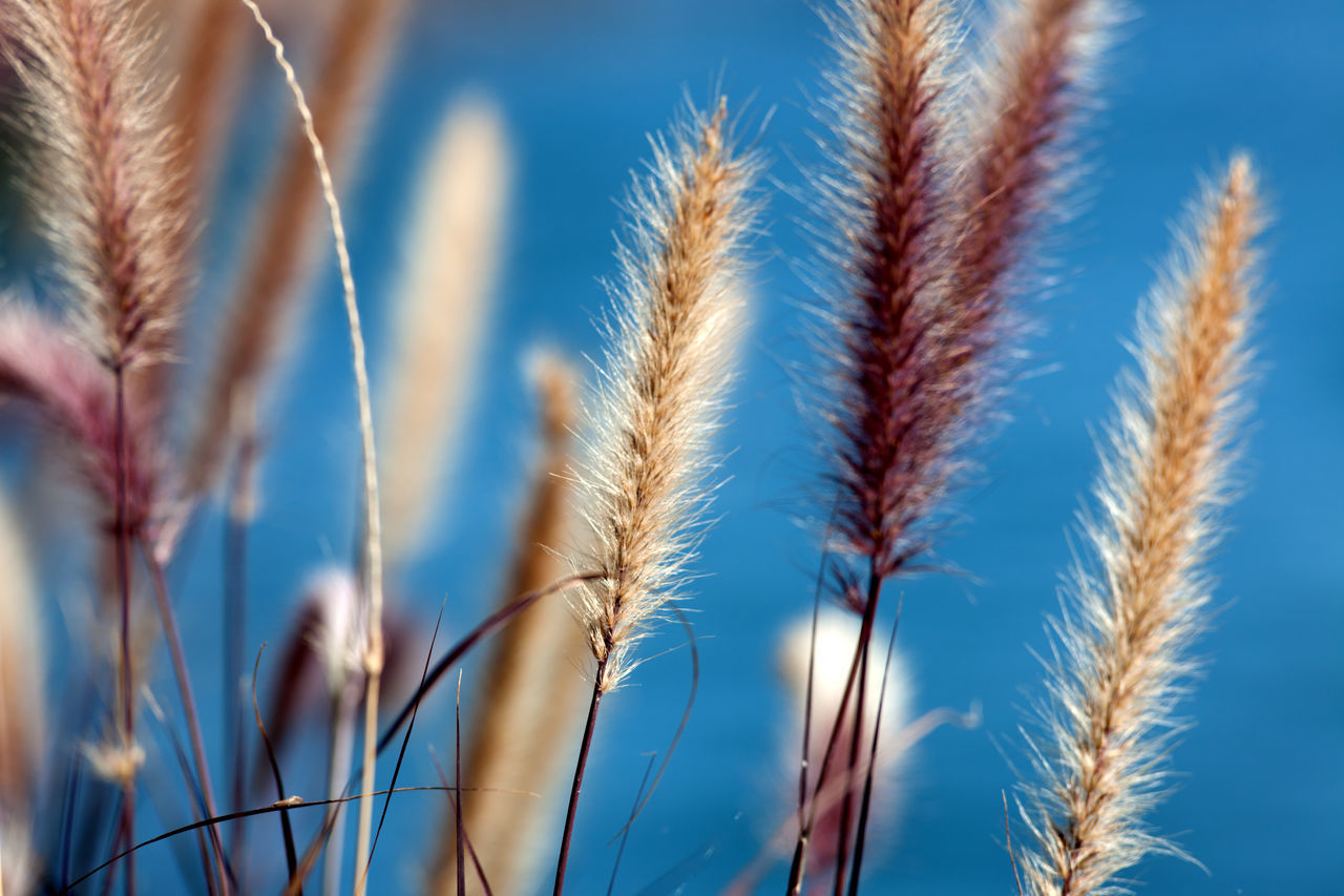 Close-Up Of Wheat Plants Against Blue Sky
