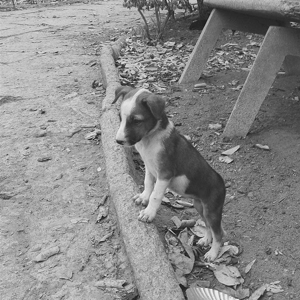 Standing tall! Stray Puppy Latergram Animallover Bnw_of_our_world Monochrome Jj_mobilephotography Nothingisordinary_ Instaadict Igers_bangalore Instagood Ig_bangalore Picoftheday Puppiesofinstagram Photooftheday Random Vscocam VSCO Vscogram Vscoindia Bangalore