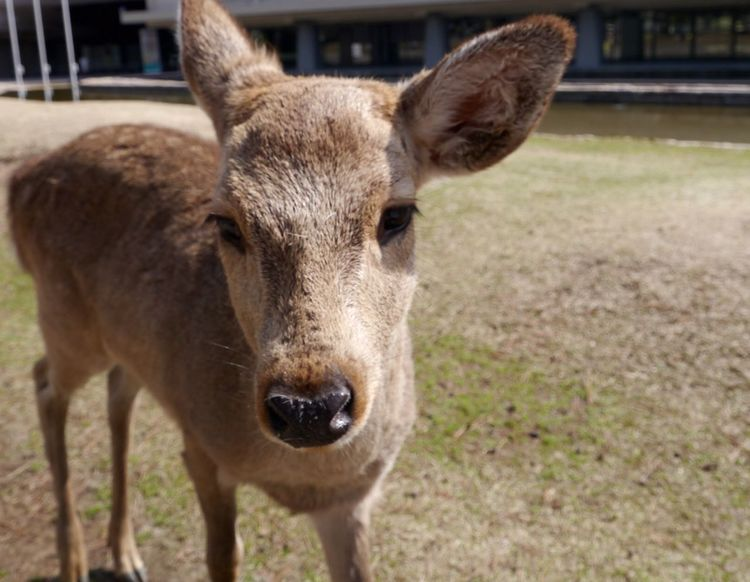 A spotted Fawn in Nara Japan back in 2013. This cute little Baby Deer was staring at us the whole time. Cutest thing. EyeEm Nature Lover Wildlife & Nature Wald