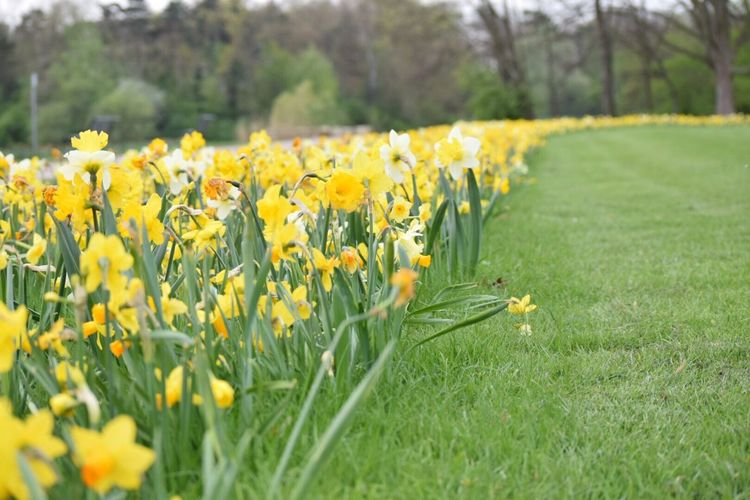 A row of crocuses in white and yellow on green grass in a park. Flower Yellow Field Growth Nature Beauty In Nature Grass Fragility Plant Freshness Petal Springtime Selective Focus Meadow Outdoors Tranquility Day No People Landscape Colorful Crocus