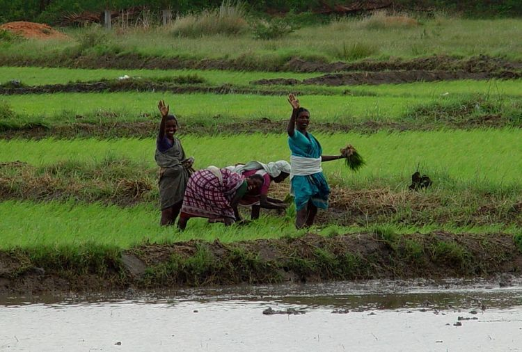 Bye, bye http://www.raconets.com/es/2010/03/escapada-madurai/ Salute Smile Kind Nice Rice Working Outdoors Farmer Women People Land Plant Field Real People Water Travel Grass India Agriculture Mundo Viajar Rice Paddy Madurai Rural Scene Raconets