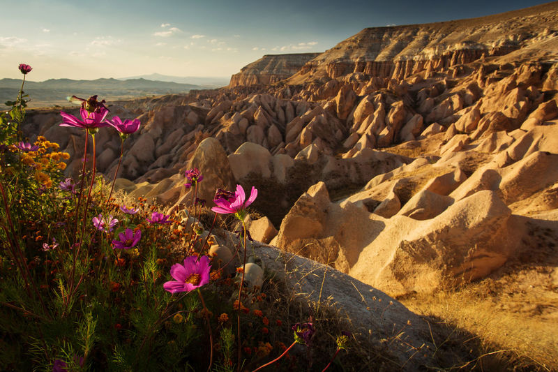Pink flowers on rock by land against sky