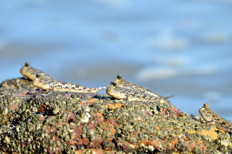 Mud skippers on rock Mud Skipper Animals In The Wild Beach Ocean Mud Skipppers Fish Sea Wave Nature