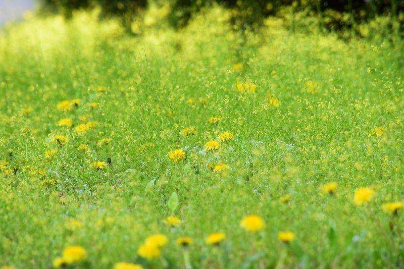 Dandalion Green