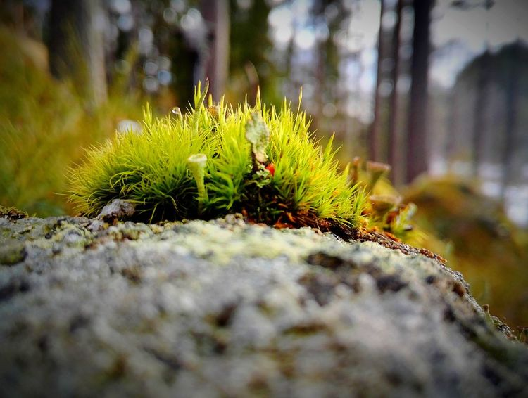 Nature No People Green Color Outdoors Growth Close-up Beauty In Nature Survivor Moss Moss On Stone Eye4photography  Discovering Nature Photo Nature Photography Photography EyeEm Taking Photos Eyeemphoto Naturephotography Autumn🍁🍁🍁 Autumn Backgrounds Day Eyeemphotography On The Stone