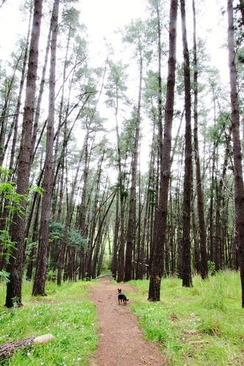 Dog Dog Walking Exploring Australia Animal Love Nature Nature Photography Nature Lover Tree Tree Trunk Sky Grass Green Color Woods Forest Greenery Pathway WoodLand Grass Area Walkway Trail Pine Woodland Lush - Description Pine Tree Countryside Green Narrow Dirt Track