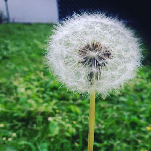 Flower Dandelion Fragility Growth Nature Beauty In Nature Plant Ser Feliz  Es Lo Mejor Ser Tu Mismo! Freshness Flower Head Day Focus On Foreground No People Outdoors Grass