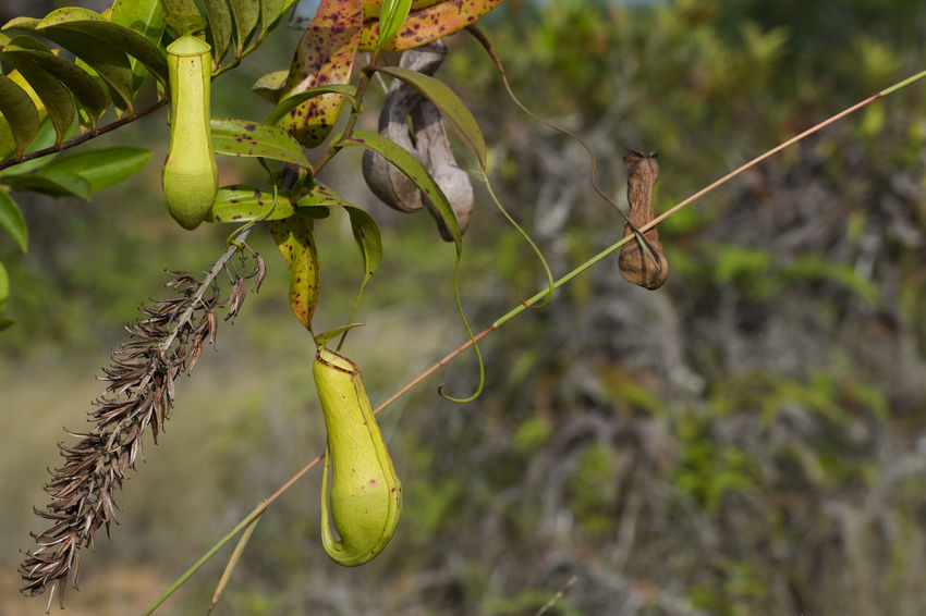 Kantong Semar Nephentes Pitcher Plant Pitcherplant Pitcher Plants Focus On Foreground Close-up Outdoors Nature Fruit No People Plant Branch Growth Beauty In Nature Day Tree Naturelover Freshness Nature_collection Nature Photography Nature Themes Beauty In Nature Green Color