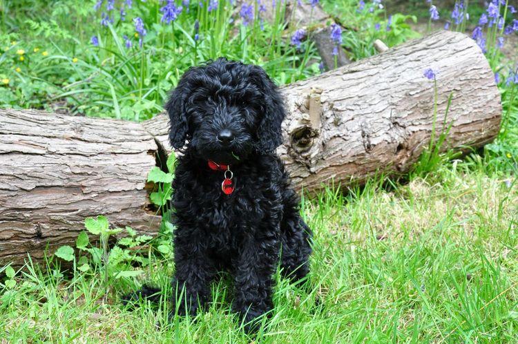 Black Labradoodle Puppy Black Dog Cute Cute Pets Dog Labradoodle Log Puppy Sit