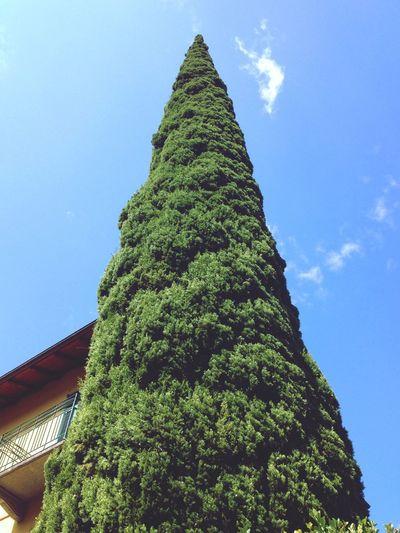Tall Tree Italia Nature Blue Sky