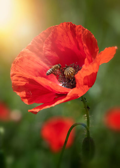 Close-up of insect on red poppy flower