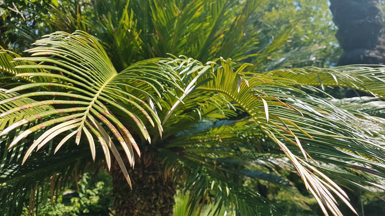 nature, growth, leaf, green color, palm tree, beauty in nature, day, frond, no people, outdoors, plant, close-up, tree, fern, freshness