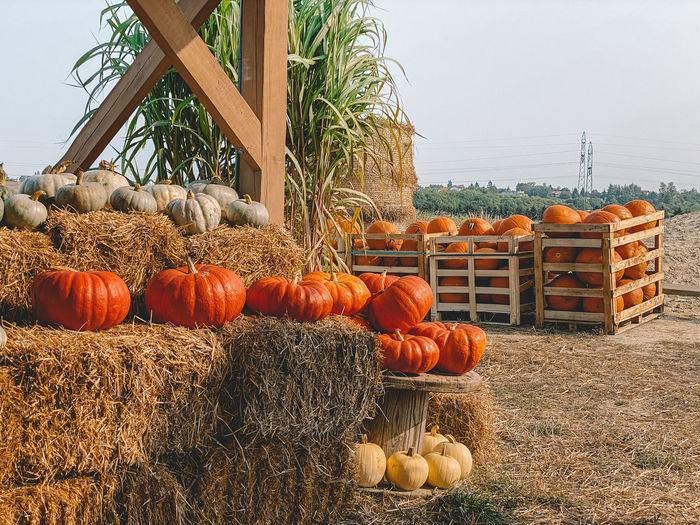 Pumpkins on field against sky
