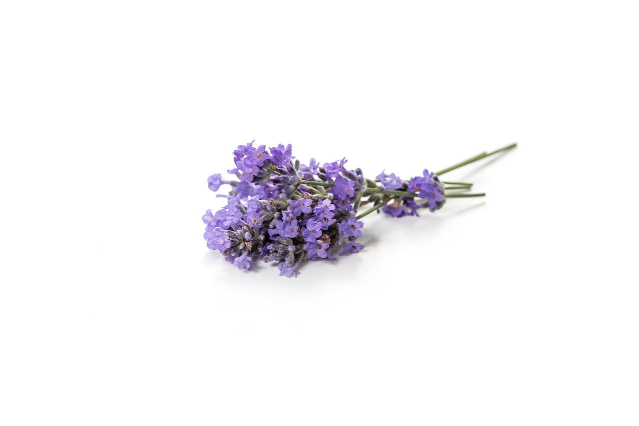 flowering plant, flower, purple, studio shot, white background, freshness, vulnerability, fragility, copy space, plant, close-up, beauty in nature, flower head, inflorescence, indoors, petal, nature, no people, lavender, cut out, bunch of flowers, lilac