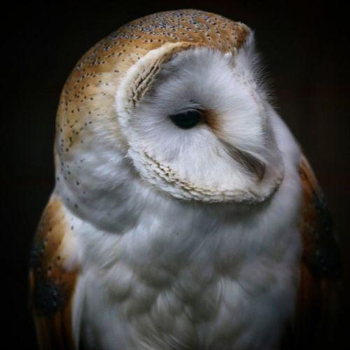 Owl Owl