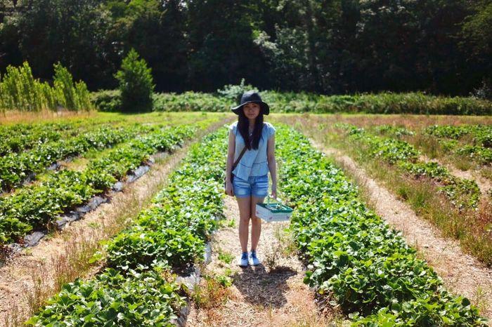 Goodall's Strawberry Farm, Lymington. Strawberry Strawberries Strawberryfarm Lymington Hampshire  Newforest Strawberrypicking Uk England
