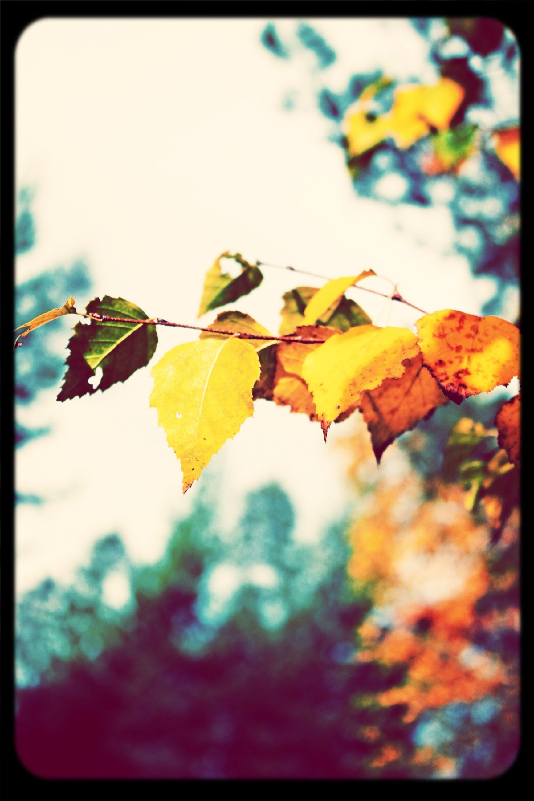 leaf, autumn, transfer print, change, season, leaves, auto post production filter, focus on foreground, close-up, branch, nature, tree, leaf vein, growth, yellow, beauty in nature, selective focus, maple leaf, sunlight, tranquility