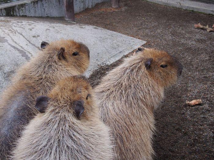 High angle view of capybaras