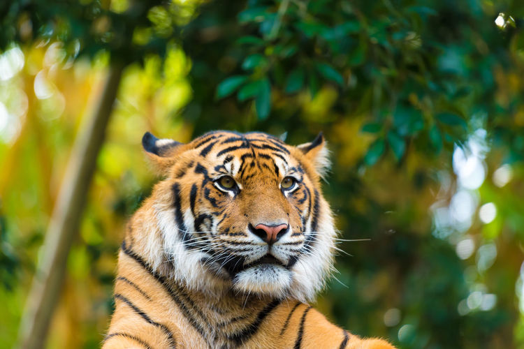 Close-up of tiger against trees