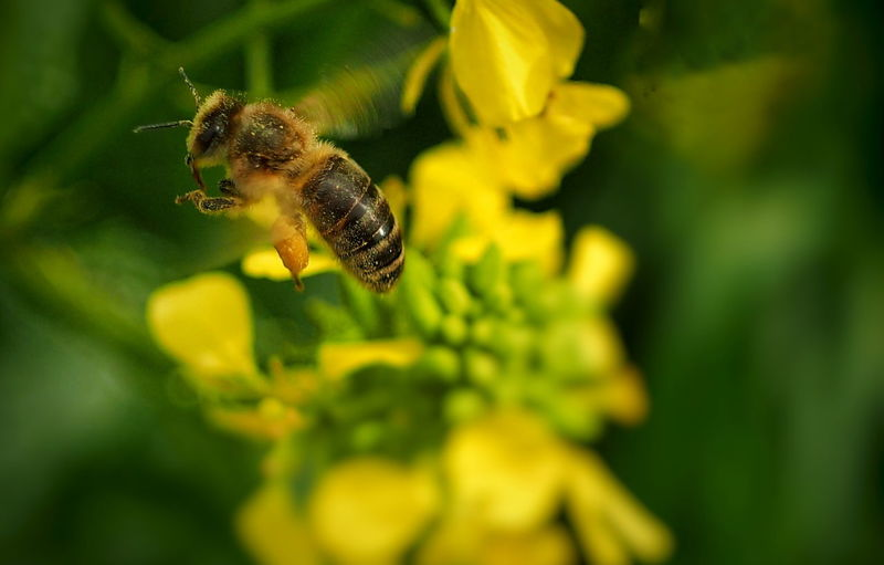 Close-up of bee pollinating on flower blooming outdoors