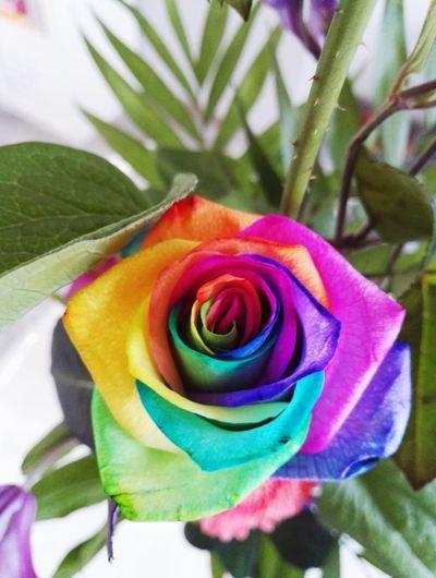 Flower Rose - Flower RainbowRose Rose🌹