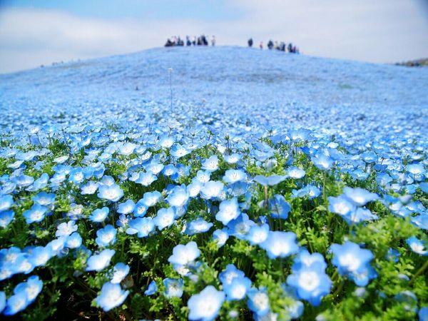 青々とした景色Flowers Spring Japan EyeEm Nature Lover Spring Flowers Flower Natural Photo Morning Boke Cute Nemophila