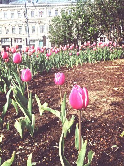 Привет, Москва! Moscow Tulips Sayhellotothecity