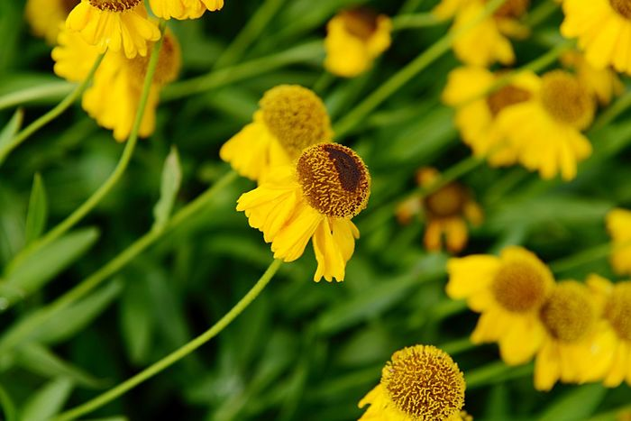 Helenium Bigelovii The Bishop Sneezeweed Botany Flower Flowering Plant Plant Yellow Growth Fragility Beauty In Nature Vulnerability  Coneflower Day Nature Flower Head Petal Focus On Foreground Inflorescence No People Close-up Pollen Green Color Freshness