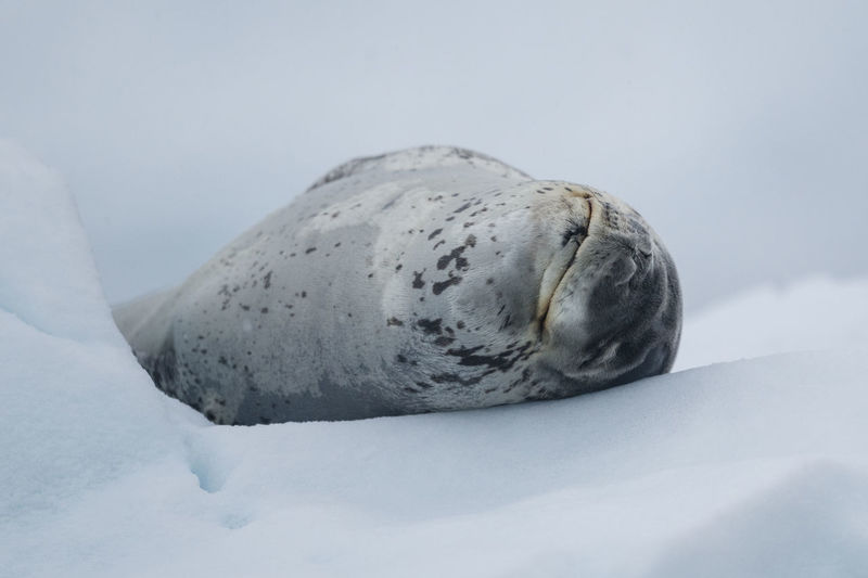 Leopard seal resting on an icefloe in Paradise Bay, Palmer Archipelago on the Antarctic Peninsula. Animals In The Wild Antarctic Antarctica Content Happy Joyful Sealife Animal Animal Themes Beauty In Nature Close-up Cold Temperature Day Joy Leopard Seal Mammal Nature No People Outdoors Seal Sleeping Smiling Snow Wildlife Winter