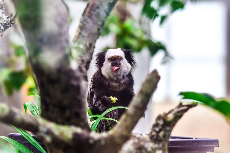 Nikon D3400 / 150-500 mm Sigma Animal Animal Themes Ape Blur Monkey One Animal Plants Primate Tamarin Empereur Tree