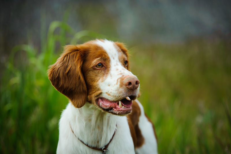 Brittany Spaniel Brittany Canine Day Dog Domestic Animals Focus On Foreground Grassy Nature Nature No People Outdoors Pet Pets Portrait Purebred Spaniel