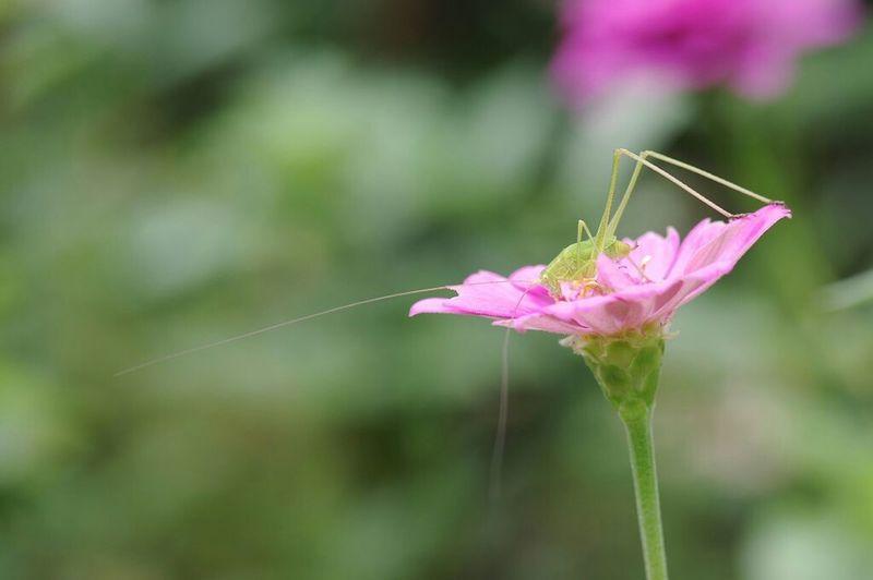 触角長っ! 脚長っ! Glasshopper Insect Macro Insects Macro Macro_collection Macro Nature Nature Nature_collection EyeEm Nature Lover