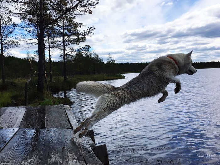 One Animal Water Cloud - Sky Animal Themes Mammal Dog Pets Domestic Animals Jumping Sky Nature No People Lake Outdoors Day Full Length Siberian Husky Abby Pet Portraits Be Brave It's About The Journey