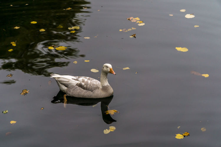 Animal Animal Family Animal Themes Animal Wildlife Animals In The Wild Bird Cygnet Day Duck Floating On Water Group Of Animals High Angle View Lake Nature No People Poultry Reflection Swimming Vertebrate Water Waterfront Young Animal